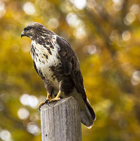 A peregrine falcon rosting on a post at Hawkstone Park Follies