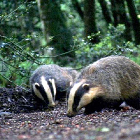 Badgers foraging the ground for food are amongst the mammals that make up the varied wildlife of The Follies woodlands